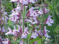 salvia_officinalis1